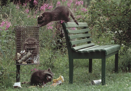 Waschbären auf der Suche nach Essbarem. In Abfalleimern wie diesen werden sie schnell fündig.