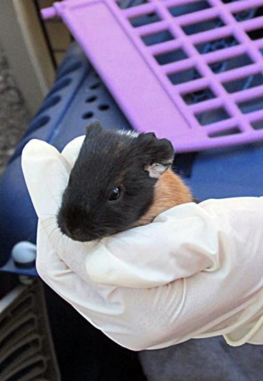 Die Tierschützer kümmern sich liebevoll um die verwahrlosten Meerschweinchen.