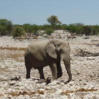elefanten_namibiac_dtschb_news