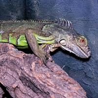 Symbolfoto: Leguan.
