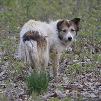 Ein Straßenhund in Rumänien.