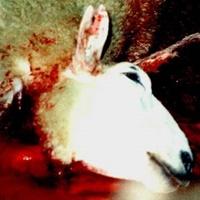 Schächten eines Schafes.