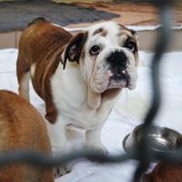 Diese Bulldogge aus einem Fall von illegalem Welpenhandel befindet sich derzeit in der Obhut von Tierschützern im Tierheim Nürnberg.