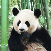 Symbolfoto: Panda.