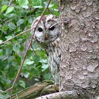 Ein Waldkauz versteckt sich hinter einem Baum.