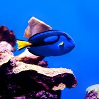 Ein Palettendoktorfisch.