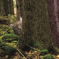 Ein Luchs im Wald.
