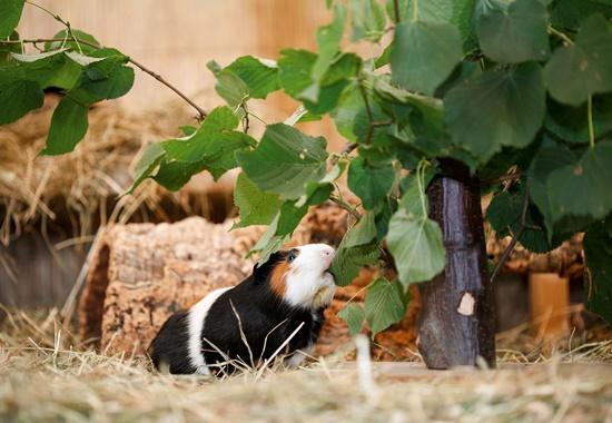 Der Futterbaum läd Meerschweinchen zum darunter Verweilen und Blättermenü ein.