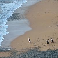 Symbolfoto: Neuseeland: Pinguine auf dem Weg zum Meer.