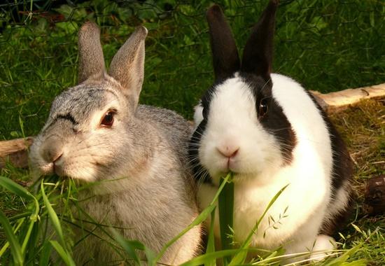 Da Kaninchen sehr gesellig und soziale Kontakte für sie sehr wichtig sind, sollten sie dort mindestens zu zweit, besser zu dritt oder zu viert zusammenleben.