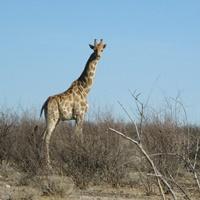 Giraffe in Namibia.