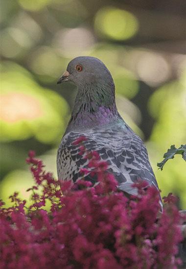 Tauben wie diese sind liebens- und schützenswerte Tiere.