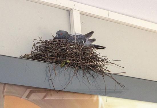 Eine Taube brütet in ihrem Nest, das sie an einen Gebäudevorsprung gebaut hat.