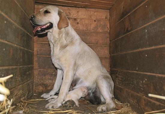 Eine Hündin in einem Holzverschlag. Die Hunde in den Vermehrerstationen sehen kein Tageslicht und sind lediglich Gebärmaschinen.