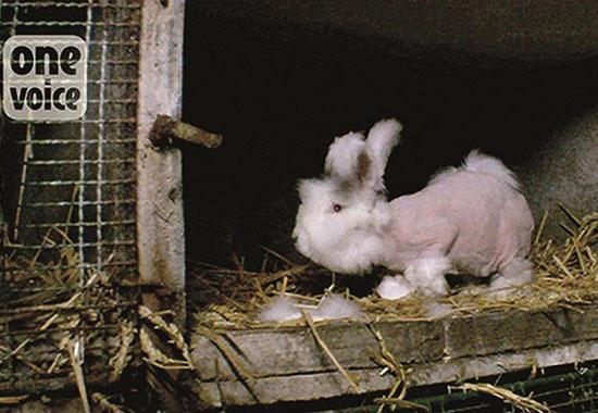 Dieses Kaninchen vegetiert nach der Fellernte einzeln in einem Käfig. In dieser Zeit kämpft sein Körper ohne sein Fell vermehrt um den Temperaturausgleich.