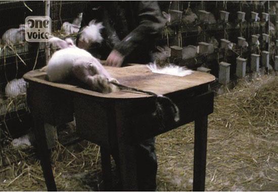 Ein Angorakaninchen ist auf einem Tisch fixiert und muss sich dem schmerzhaften Rupfen unterziehen.