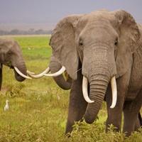 Symbolfoto Elfenbein: Ein Elefant in Afrika.