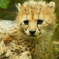 Symbolfoto: Ein junger Gepard.