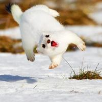 Ein Nerz im Schnee in freier Natur.