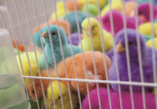 Grausamer Trend: Überwiegend in Südostasien werden Küken mit Farbe übergossen oder sie wird ins Ei injiziert, damit die Tiere als Spielzeug oder Deko-Objekt herhalten.