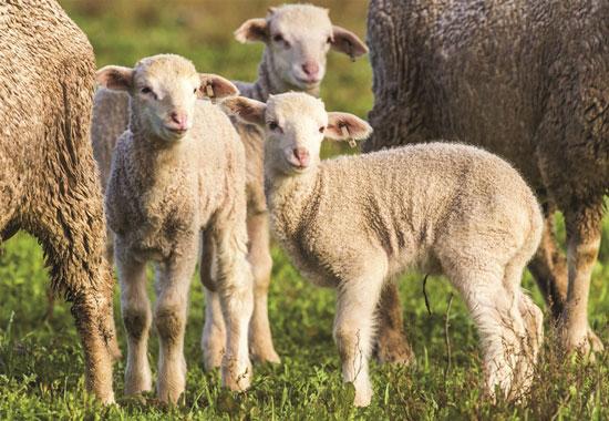 Diese drei Lämmer haben Glück, da sie im Herdenverband im Freien aufwachsen dürfen.