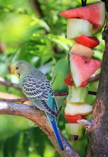Maßvoll eingesetzt ist Obst bei Wellensittichen eine beliebte Leckerei.