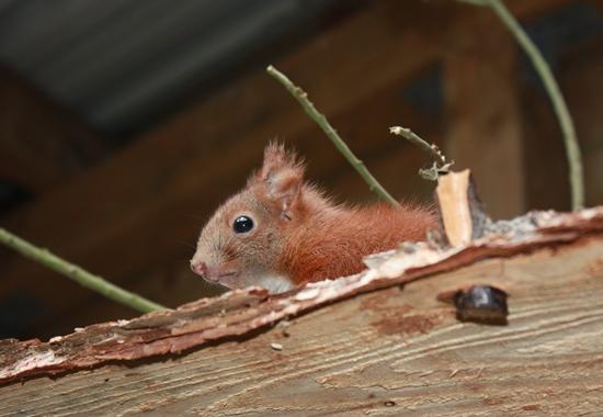 Eichhörnchen freuen sich bei länger anhaltendem Bodenfrost über Sonnenblumenkerne, Bucheckern, Walund Haselnüsse oder Äpfel und Birnen.