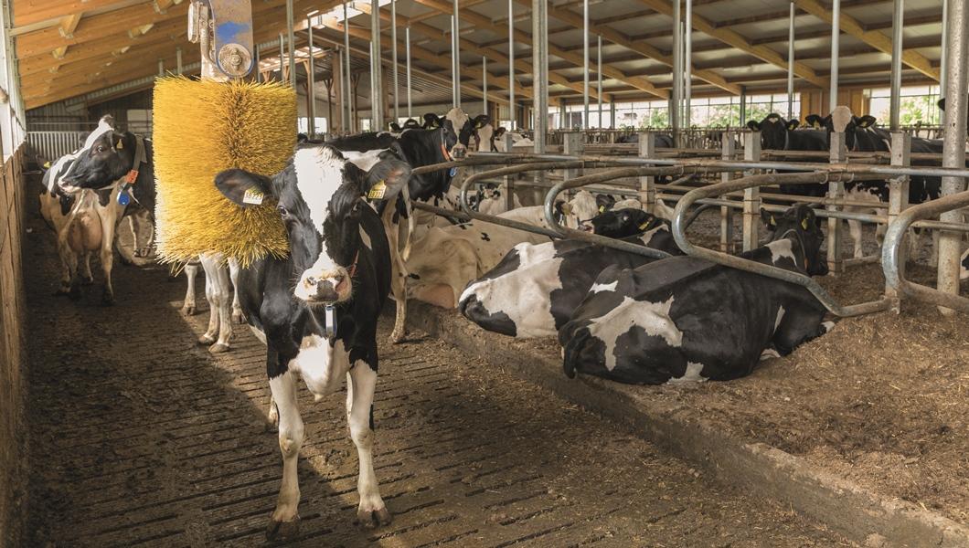 """""""Die Haltung war vor unserem Neubau vor zwei Jahren nicht optimal – das hat mich schon immer genervt. Die Laufgänge waren nur 1,50 bis zwei Meter breit, das war für die Kühe einfach Stress. Durch den Neubau sind die Tierarztkosten um ein Drittel zurückgegangen. Wir haben zwar ein paar Euro mehr ausgegeben, aber das ist es uns einfach wert."""""""