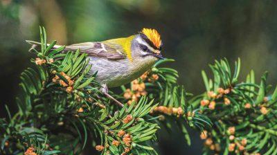 Sommergoldhähnchen zählen sie zu den kleinsten Vögeln Europas.