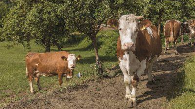 """Weide für die Kühe gehört in der Premiumstufe des Tierschutzlabels """"Für mehr Tierschutz"""" des Deutschen Tierschutzbundes dazu."""