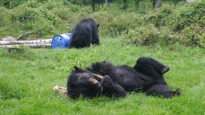 Die Bären im Anholter Bärenwald sprühen vor Lebensfreude.