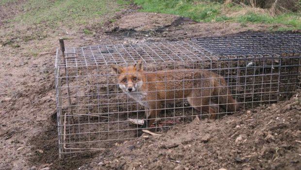 Lebendfallen wie diese dürfen eigentlich nur abgedeckt verwendet werden, Stress und Leid für die Tiere sind so oder so enorm.