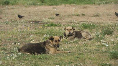 Frei lebende Hunde stehen Fokus der Arbeit vieler Tierschützer.