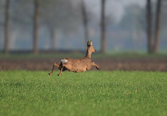 Das Reh versucht in den schützenden Wald zu flüchten.