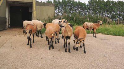 Im Tierschutzzentrum Weidefeld leben Schafe, Ziegen und viele andere Tiere in tiergerechter Haltung.