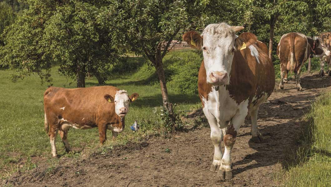 """""""Wenn die Kühe eine Zeit auf der Weide verbracht haben, sind die Klauenprobleme, die man vorher im Stall gehabt hat, auskuriert."""""""