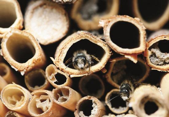 Wildbienen, aber auch andere Insekten ziehen sich zum Überwintern gerne in hohlen Stängeln – wie in diesem Insektenhotel – zurück.