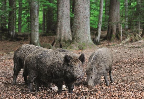 Wildschweine befinden sich im Visier der Jäger.