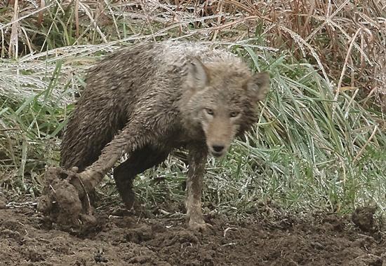 Ein Kojote wartet, in einem Tellereisen gefangen, auf den Tod.