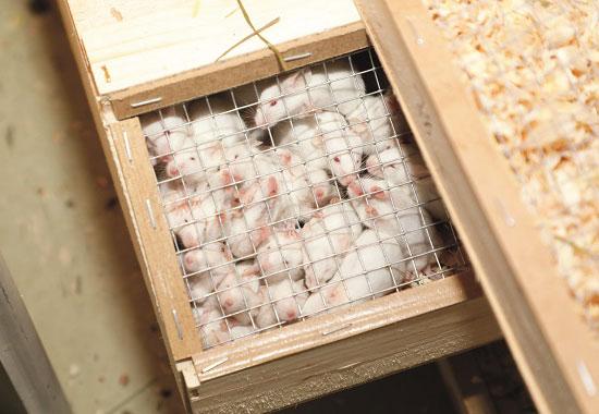 In dieser Kiste sind Ratten eingepfercht.