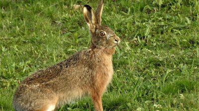 Hasen legen zwar nach wie vor keine Eier, dennoch sind sie nicht nur für Kinder der Inbegriff von Ostern.