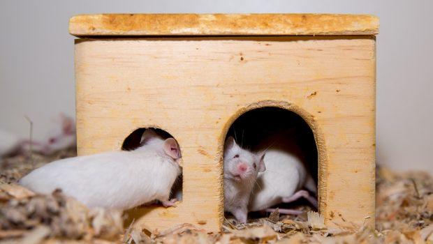 Nachdem bereits die ersten Ratten vermittelt wurden, sucht der Tierschutzverein Nürnberg-Fürth und Umgebung nun auch für die beschlagnahmten Mäuse ein artgerechtes Zuhause.