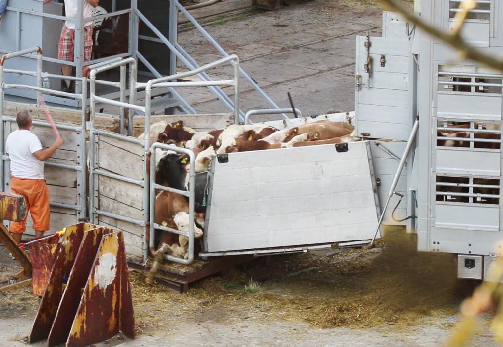 Auf die Verfassung der Rinder wird keine Rücksicht genommen. Nach der kräftezehrenden Fahrt mit dem Lkw treiben die Arbeiter die Tiere auch mit Gewalt aufs Schiff. Wenig später erwartet sie die Schlachtung. © Foto: Animals International/Deutscher Tierschutzbund e. V.