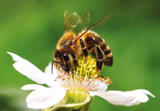 Um etwa 500 Gramm Honig produzieren zu können, müssen Bienen etwa einen Liter Nektar sammeln.