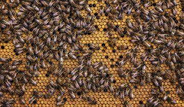 Ein Bienenvolk besteht aus etwa 20.000 Bienen, die täglich bis zu 30 Mal ausfliegen. Pro Flug besuchen die Bestäuber bis zu 300 Blüten und sammeln Pollen für ihre Brut.