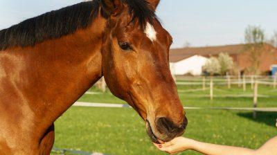 Pferde lieben sie: Knusprige Leckerlis aus Karotten, Haferflocken und Karottensaft.