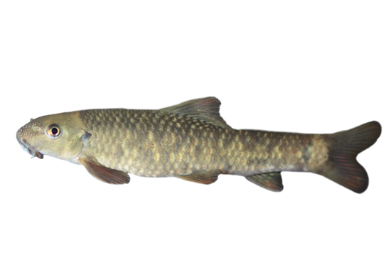 Der Kangalfisch (Garra rufa) ist ein bis zu 14 Zentimeter großer Fisch aus der Familie der Karpfenfische (Cyprinidae).