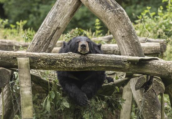 Schlafender Kragenbär