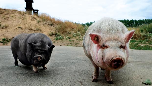 Das Hängebauchschwein Hilde und Minipig Herr Bert sind beste Freunde.