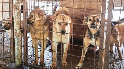 Hunde in der Smeura
